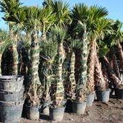 Саженцы пальм фото