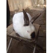 Кролики калифорнийские фото
