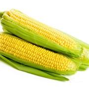 Кормовая кукуруза фото