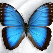 Бабочка Morpho Peleides фото