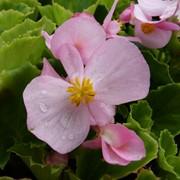 Бегония вечноцветущая зеленолистная монза - роуз фото