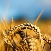Пшеница, Херсонская область. фото
