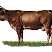 Нетели швицкая порода коров