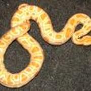 Тигровый питон альбинос и другие неядовитые змеи из питомника фото