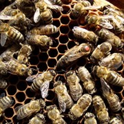 Пчелопакеты (карпатка) фото
