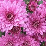 Танилин. Саженцы хризантемы фото