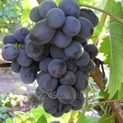Виноград раннего срока созревания Руслан фото