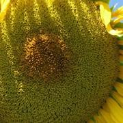 Продам семена подсолнечника Аламо(гибрид) фото