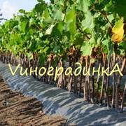 Саженцы винограда :ранние, средние, поздние фото