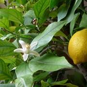 Лимоны оптом , Турция, Купить лимоны можно у нас! фото