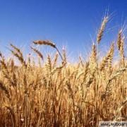 Закупка пшеницы фото