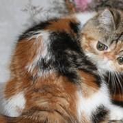 Экзотическая кошка Калико фото
