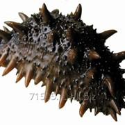 Кукумария живая вес ~300/400 гр/шт фото