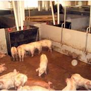 Участок доращивания и откорма свиней фото