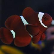 Клоун темно-бордовый (Maroon Clown) фото