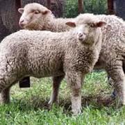 Разведение племенных овец, поставки племенных овец фото