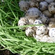 Инкубационные перепелиные яйца фото