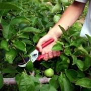 Обрезка и формирование фруктовых деревьев фото