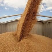 Пшеница фуражная, 3 класс (мягкая) фото