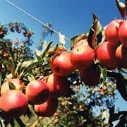 Яблоня плодовая фото