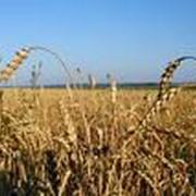 Зерно, сельхозпроизводство зерновых фото