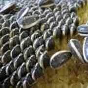 Семена подсолнечника калибра 3,6+ фото