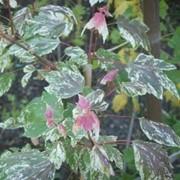 Клены Acer rubrum Candice Ice фото