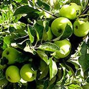 Семеренко яблоки фото