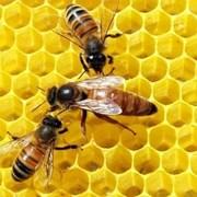 Матки пчелиные ценных пород фото