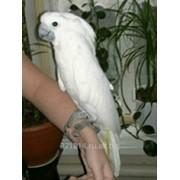 Попугай белохохлый какаду Альба фото
