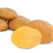 Картофель ранних сортов в наличии фото