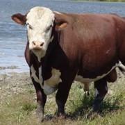 Коровы мясные фото