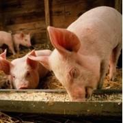 Миксвит для откорма свиней с 40 до 70кг фото