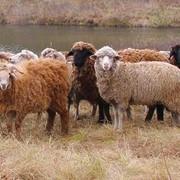 Овцы (молодняк) фото