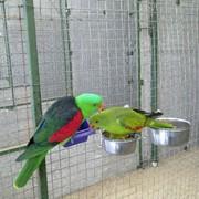 Краснокрылый попугай фото