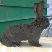 """Крольчата """"Бельгійський фландр"""" фото"""