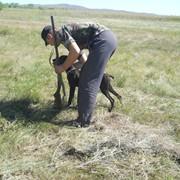 Натаска и полевые испытания охотничьих собак фото