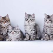 Сибирские котята серебристого окраса фото