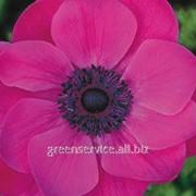 Анемона De Caen Pink 8/+ фото