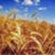 Зерна пробужденные фото