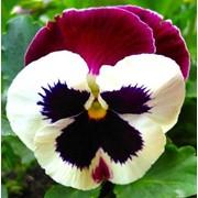 Виола крупноцветковая пауер - патрисия фото