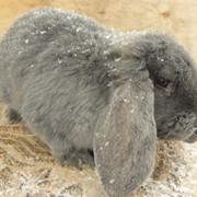 Кролик Французский баран голубой фото