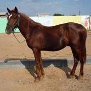Лошади племенные, кушумская порода лошадей фото