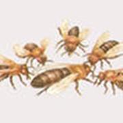 Искусственное размножение пчелиных семей