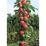 Колонновидная яблоня Останкино ЗКС фото