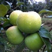 Саженцы яблони сорт Кальвиль снежный фото