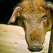 Свиноматка фото