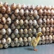 Инкубационное яйцо перепела фото