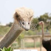 Начальный этап разведения страусов фото