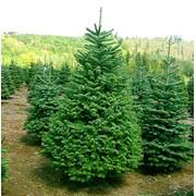 Eль oбыкновенная (Pinus abies)